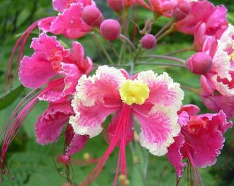 Caesalpinia Pulcherrima Pink 7 Seeds, Shrub / Tree, Great For Smaller Yards
