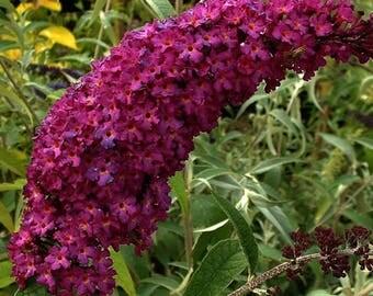 Butterfly Bush(purple-red) aka Buddleia dav. 'Royal Red' Live Plants Fit 5 Gallon Pot - MOR