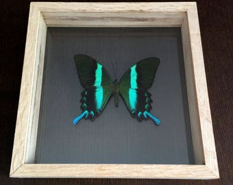 Papilio blumei - Handpinned, mounted by hand in frame