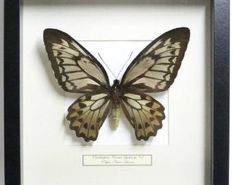 Mounted butterfly taxidermy, mounted butterfly in list Ornithoptera Croesus Lydius SP