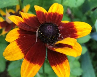 Rudbeckia hirta (Gloriosa Daisy) 100 Seeds D18RH10