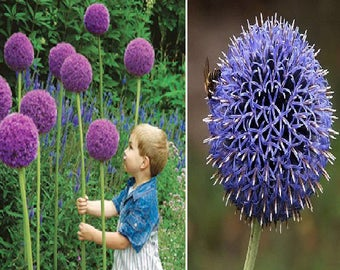 Giant Allium 'Globemaster' (30 SEEDS) OR Blue Globe Thistle-Echinops ritro (50 SEEDS) Perennial flowers
