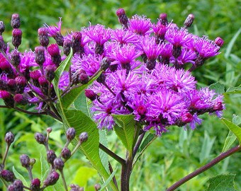 Veronica gigantea Giant Ironweed Purple Wildflower Attracts Birds and Butterflies 30 Seeds #1198