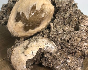 Fossilized Clam With Golden Honey Calcite Specimen - Natural Gemstone - #C20