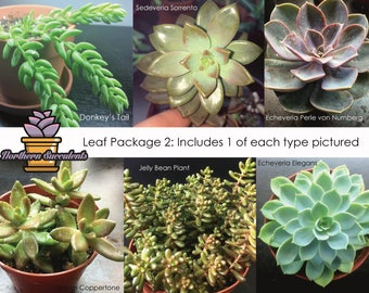 6 Succulent Leaves for Propagation//Leaf Package 2