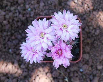 Gymnocalycium Friedrichii Cactus