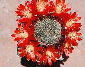 Rebutia Heliosa Cactus