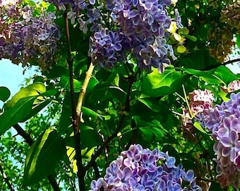 Gallery-wrapped art photograph of Lilacs. From the Grandma's Garden Series.