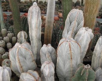 10 Seeds Astrophytum myiostigma Ssp colomnare