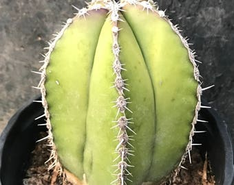 Young Mexican Fence Post Cactus