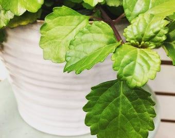 "Wax Swedish Ivy Plant 6"""