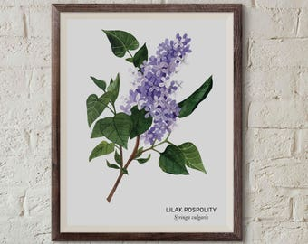 Lilak pospolity, Lilac (Syringa vulgaris) - illustration - print 13x18cm