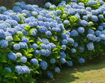 Blue (giant ball) Hydrangea bush