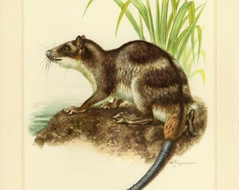 Vintage lithograph of the water opossum from 1956