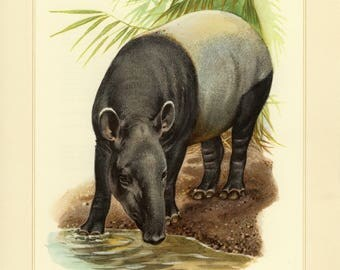 Vintage lithograph of the Malayan tapir from 1956