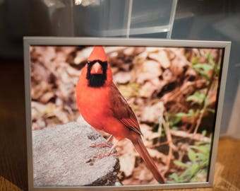 Framed Male Cardinal Photo #1