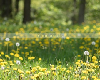 ON SALE Field of Dandelions Digital Background, Dandelion Field Backdrop, Instant Download, Infant Backdrop, Newborn Background, Portrait