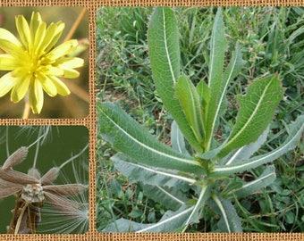 Prickly Lettuce 25/50/100 Seeds ~ Opium Lettuce ~Lactuca serriola~ Wild Lettuce Seeds