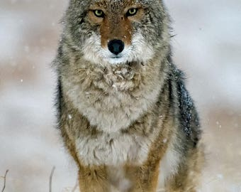 Coyote, Face On