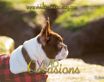 Digital Photograph Red Boston Terrier (ID:008)