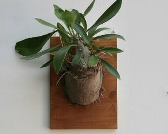 Ant plant wrapped in burlap (Myrmecodia)