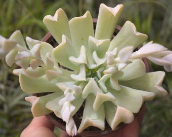LARGE Succulents Echeveria Runyonii, Topsy Turvy White Succulent Plant, Succulent Terrarium Plant, Indoor Plants, Cute Desk Accessories