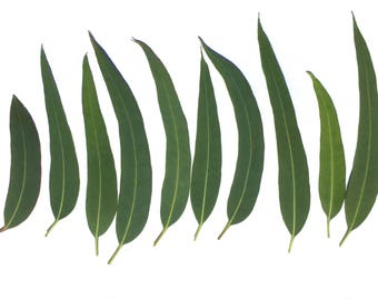 100 + Organic Sicilian Eucalyptus Leaves, Dried Leaves, Supplies for Decorations,Medicinal Herb, Aromatic Herbs