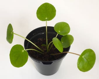 Pilea peperomioides / Chinese money plant / pancake plant / missionary plant