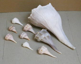 Lightning Whelk shells, Sinistrofulgur perversum, 9 total shells, sea shells