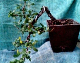 Rare Chinese peashrub Live bonsai