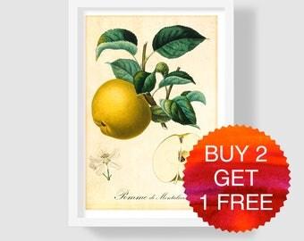 Yellow Apple Art Print, Botanical Art Print, Antique Apple Illustration, Apple Wall Art, Fruits Wall Art, Apple Poster, Apple Kitchen Decor