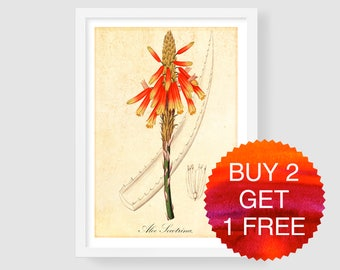 Antique Botanical Aloe Art Print, Vintage Aloe Illustration, Aloe Flower Print, Aloe Wall Art, Aloe Blossom Art, Aloe Poster, Aloe Picture
