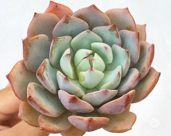 "Echeveria Prism Korean LARGE Unique Beautiful Color Pink Rare Succulent Only One 3"""