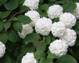 1 Japanese snowball bush (Viburnum plicatum) 2 feet tall-branched--9.99 each