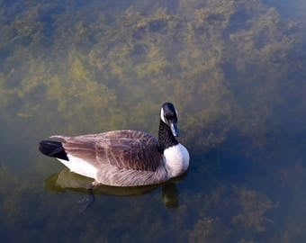 Winter Goose Reflected