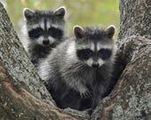 Framed Raccoon twins