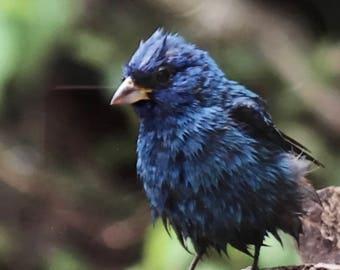 Indigo Bunting at bird bath