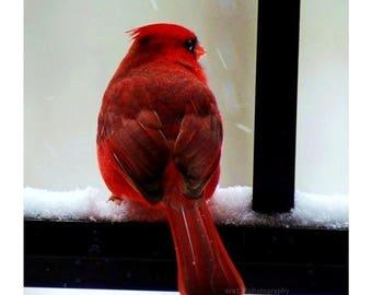 50% OFF SALE Cardinal Holiday Decor Christmas Decoration Nature Photography Cardinal Winter Bird 5x5 inch Photograph - Cardinal in the Snow