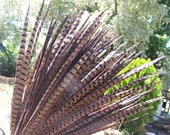 Pheasant feathers - tail feathers 20 to 22 inch long large feathers - brown extra large - for millinery crafts regalia etc - coyoterainbow