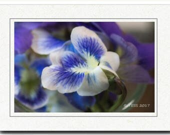White Purple Violets Photography Card - Photography Greeting Cards - Spring Blossoms Card - Wild Violets Photography Card