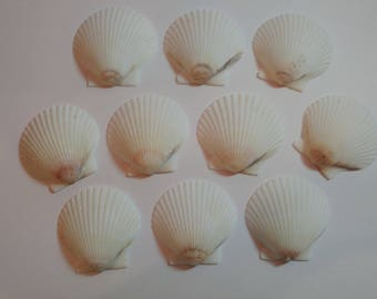 White Scallop Shells - From Crystal River, FLorida - Freshly Caught by me - Shells - Seashells - White Seashells - 10 Natural Shells  #135