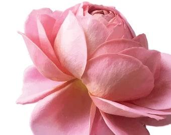Open Pink Rose Garden Flower - Vinyl Decal Wall Décor