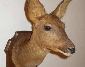 15% off SALE Vintage French Taxidermy Deer Head. Deer Trophy.  Deers head on wooden shield plaque.