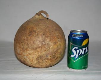 Small Bushel Gourd uncleaned #2