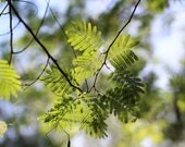 Iridescent Ferny Leaves in Sunlight Photograph Print up to 20x20 Fine Art Photography Bringing the Outside In Zen Home Decor Interior Design
