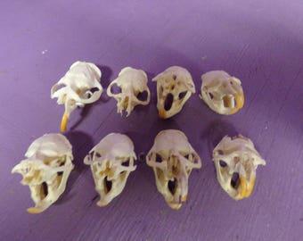 8 Real Animal Bone Muskrat skull taxidermy head Part