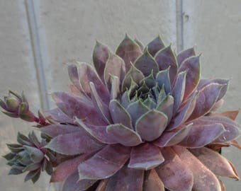 "Sempervivum ""Pacific Devil's Food"""
