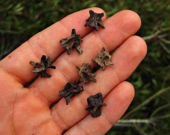 Salamander Vertebrae Fossils - Fossil Salamander Vert Bones