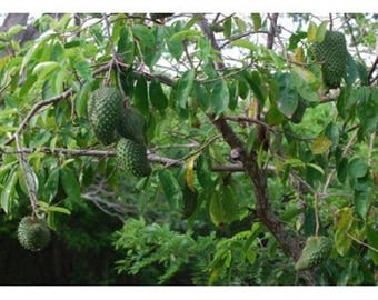 10 Soursop Tree Seeds, Annona muricata