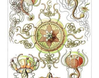 Ernst Haeckel's Vintage Artwork Trachomedusae